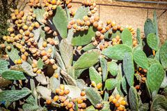 Cactus Opuncia with fruits royalty free stock photography