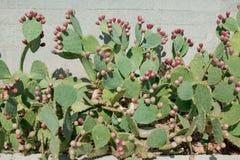 Cactus opuntia Stock Images