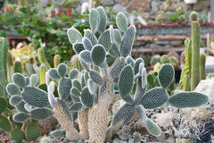 Cactus Opuntia compared to other plants Stock Photos