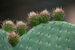Cactus Opuntia. Family with spikes, shot close-up Stock Photography