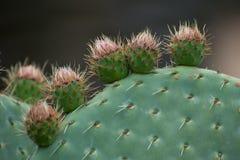 Cactus Opuntia Stock Photography