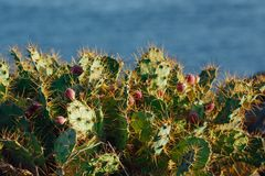 Cactus Opuntia with flowers. On blue sea background Royalty Free Stock Image