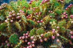 Cactus Opuntia with flowers. Closeup view Royalty Free Stock Photos
