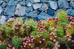 Cactus Opuntia with flowers on stones background. Closeup view Stock Photos