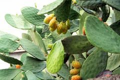 Cactus, Opuntia, Prickly pear. Sicilian Royalty Free Stock Photography