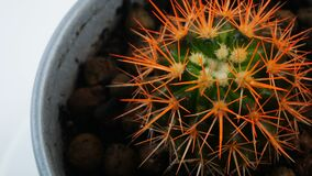 Cactus with orange needles.In the pot spinning in a circle.