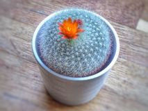 Cactus. Oranje Flower on Cactus Small Plant Stock Photography