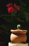 Cactus and orchid. A small, sunlit  cactus pot plant with a red orchid in the background Stock Image