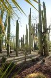Cactus in orgaanpijp Royalty-vrije Stock Foto's