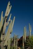 Cactus in orgaanpijp Stock Foto's