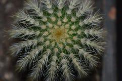 Cactus osservato da alto sopra immagine stock