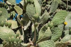 Cactus. In the outdoor garden Stock Photos