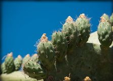 Cactus in the outdoor garden. Cactus on blue background garden Stock Image