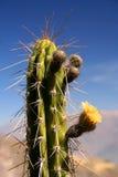 Cactus péruvien Photographie stock libre de droits