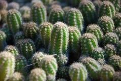Cactus pad Stock Photos
