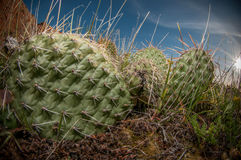 Cactus Pads And Spines. Cactus spines up close in the desert Royalty Free Stock Image