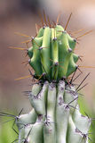 Cactus. Pale Green And Gray Cacti With Spikes Royalty Free Stock Photo