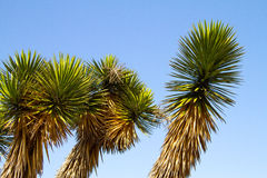 Cactus Palm. A group of succulent cactus palms against a blue sky stock images