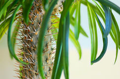 Cactus palm. In the nature Stock Image