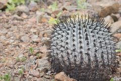 Cactus in Pan de Azucar national park in Chile Royalty Free Stock Photos