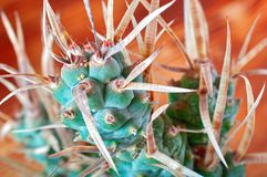 Cactus with paper-like spines, close-up. Unusual cactus Tephrocactus articulatus. Cactus with paper-like spines, macro. Unusual cactus Tephrocactus articulatus Stock Image