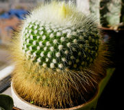 Cactus the parody in a pot. On the windowsill Royalty Free Stock Photos