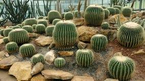Cactus, pectinifera di Uebelmannia Fotografia Stock