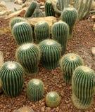Cactus, pectinifera di Uebelmannia Immagini Stock