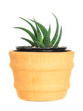 Cactus ( Pereskia ) on isolated background ( Cereus hexagonus Mill ) Stock Image