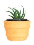 Cactus ( Pereskia ) on isolated background ( Cereus hexagonus Mill ) Stock Image
