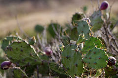 The cactus. Cactus photographed in west Africa stock photos