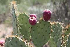 CACTUS. This is a picture of a cactus taken at the Arizona Sonora Desert in Tucson, Arizona. You could only find cactus in some parts of the United States Stock Image