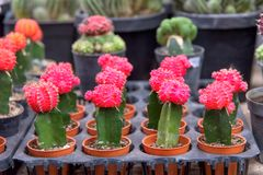 Cactus with pink flower plants. Small decorated cactus with pink flower plants in pots royalty free stock images