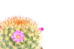 Cactus with pink flowers Royalty Free Stock Photography