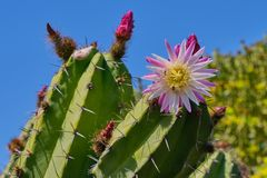 Pink cactus blossom against blue sky stock photo