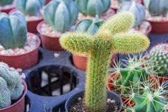 Cactus planté dans des pots - effet de couleur Photographie stock