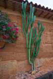 Cactus planté le long du mur de maison dans Barichara Photos libres de droits