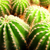 Cactus plant Royalty Free Stock Photos