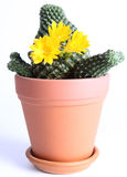 Cactus plant blooming Stock Photography