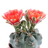Cactus plant blooming Royalty Free Stock Photo
