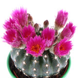 Cactus plant blooming Stock Image