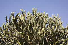 Cactus plant and blue sky Royalty Free Stock Images