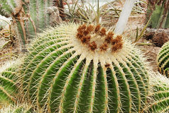 Cactus plant in  botanical garden Royalty Free Stock Images