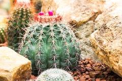 Cactus Plant. Cactaceae Stock Images