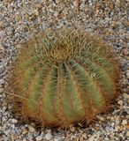 Cactus plant in clay pot stock images