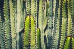 Cactus Plant Closeup -  Euphorbia Ingens, Cactus Macro Royalty Free Stock Photos