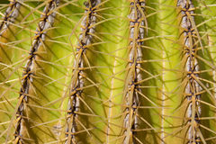 Cactus plant closeup, mother in law`s cushion Stock Image