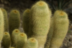 Cactus plant. Cultivated, from a garden stock photos