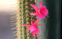 Cactus Plant and Flower Royalty Free Stock Image