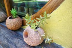 Cactus plant in the flowerpot. Cactus or cactus plant in the flowerpot royalty free stock photos